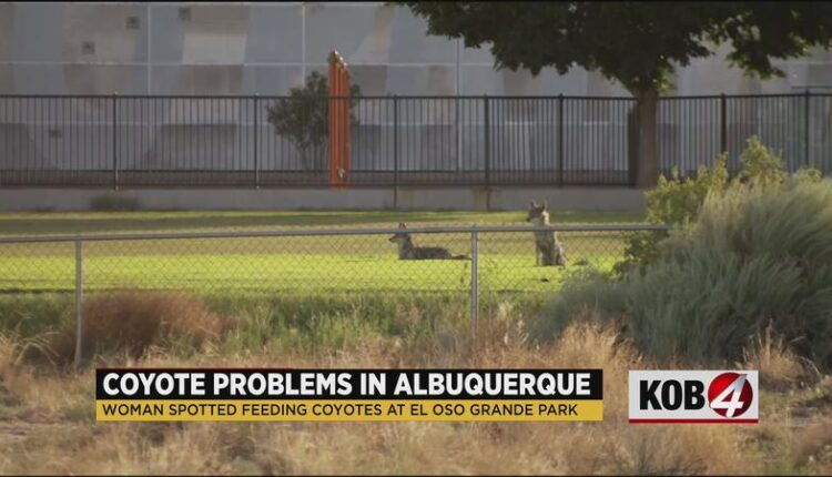 Woman_spotted_feeding_coyotes_at_Albuquerque_park-syndImport-111525.jpg