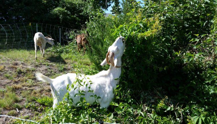Goats-grazing.jpg